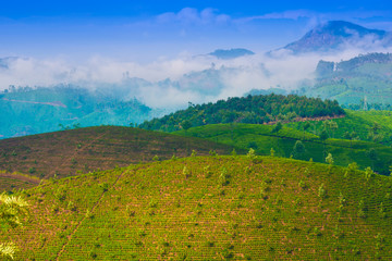 landscape tea plantation with young shoots of tea