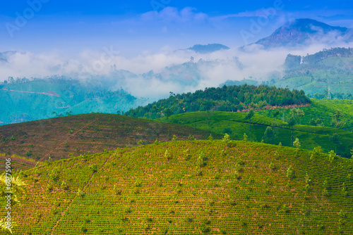 landscape tea plantation with young shoots of tea