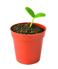 seedling of  plant in flowerpot is isolated on white background