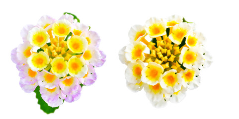 flower Lantana camara is isolated on white background, closeup