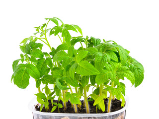 seedling of young tomato plant in capacity with  land is isolate