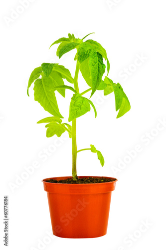 seedling of young tomato plant in flowerpot is isolated on white