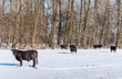 Angus cattle in pristine  snow