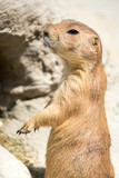 Prairie dog (genus Cynomys) standing up on his legs