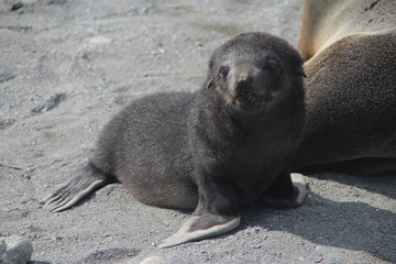 Fur seal pup, Fortuna Bay, South Georgia