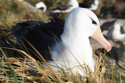 Albatross, West Point Island, Falkland Islands