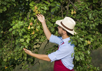 Gardener picking up fruit