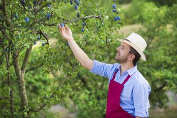 Gardener picking up fruit