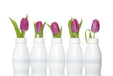 Purple tulips in white plastic bottles in a row