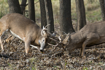 Mature Whitetail Bucks Fighting