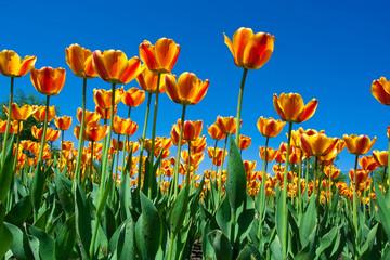 fototapeta piekne tulipany