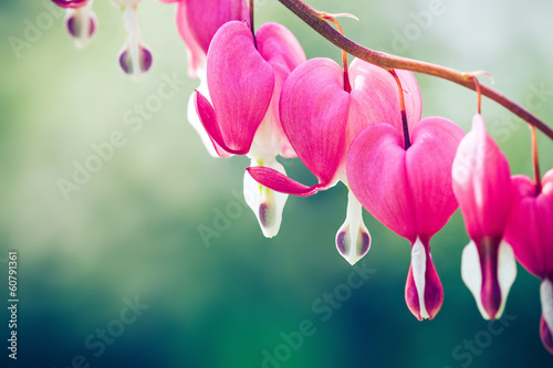 Bleeding heart flower