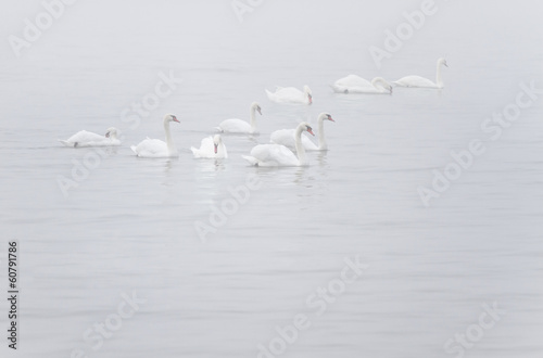 White Mute Swans in the myst