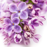 Floral background. Lilac flowers.
