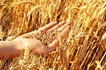Wheat in woman's hand