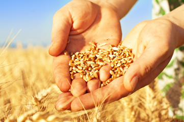 Wheat in woman's hands