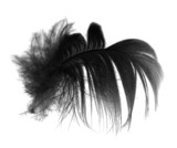 Fototapety feather on white background