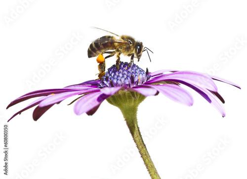 Foto op Canvas Bee abeja en la flor sobre fondo blanco