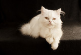 Perfect little white Persian kitten