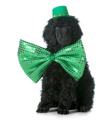 St Patricks Day dog