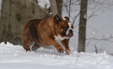 bulldog playing in the snow