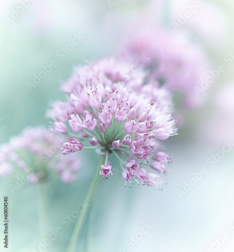 Garlic Flowers - 60804540