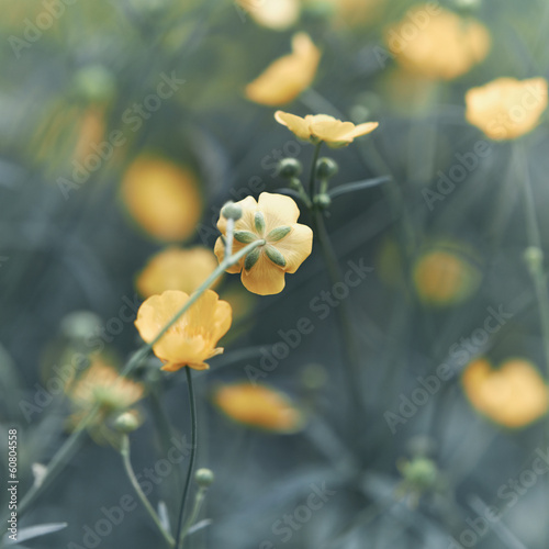 Meadow Buttercup © B. and E.  Dudziński