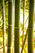Bamboo cane field with selective focus