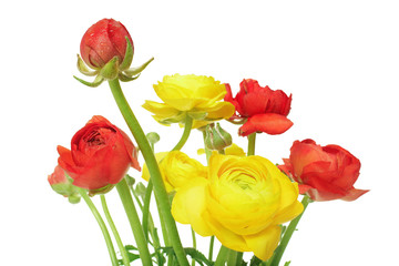 Red and yellow buttercups (ranunculus)