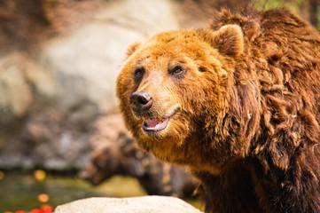 Kamchatka bear