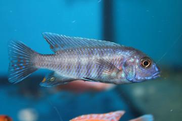 Blue morph of zebra mbuna (Pseudotropheus zebra) aquarium fish