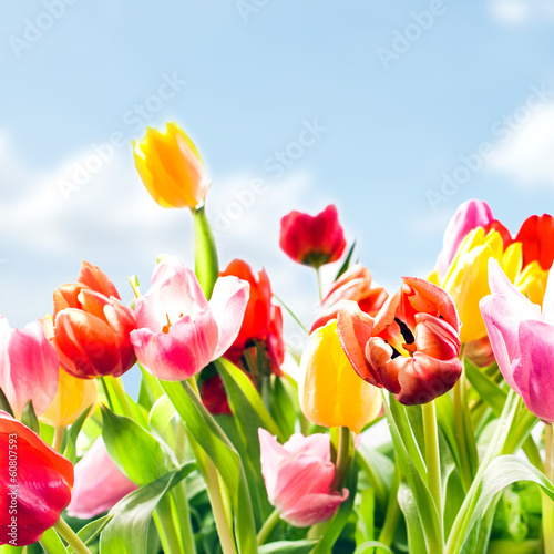 Beautiful fresh tulips in vibrant colours