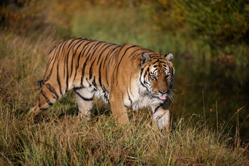 Siberian Tiger walking along stream