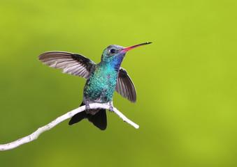 Beautiful Broad-billed Hummingbird on branch of tree