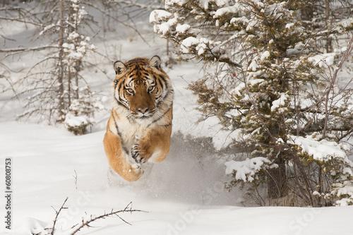 Papiers peints Tigre Siberian Tiger running in snow