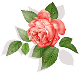 Rose, flower, drawing, painting