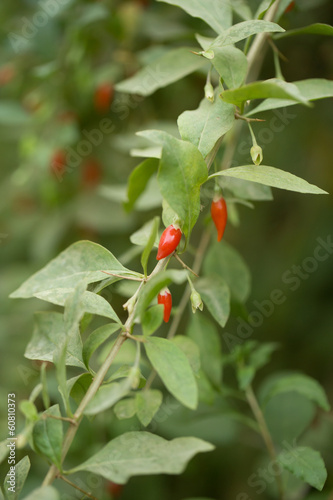 small chili pepper on the bush in nature