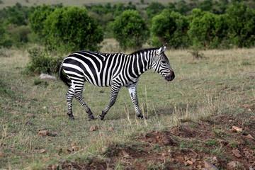 Wild zebra, Maasai Mara National Reserve, Kenya, Africa