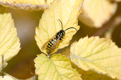 wasp on a yellow sheet. macro