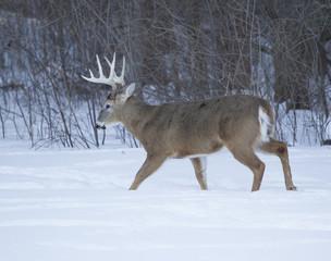 Huge Ten Point Buck