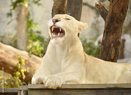 Satisfied lioness displays fangs after lunch