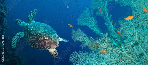 Fotobehang Schildpad Hawksbill sea turtle (Eretmochelys imbricata)