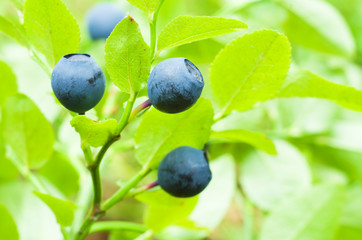 Bilberry berries in growing in wood.