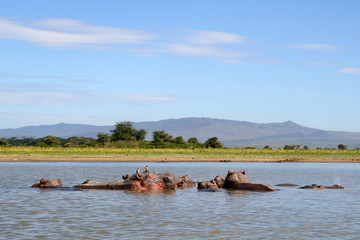 Hippos in a river