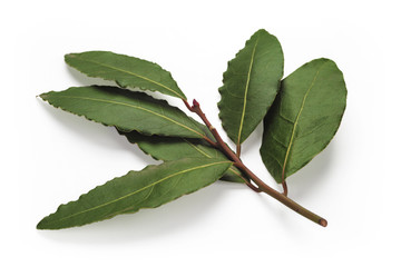 Fresh Bay Leaves branch