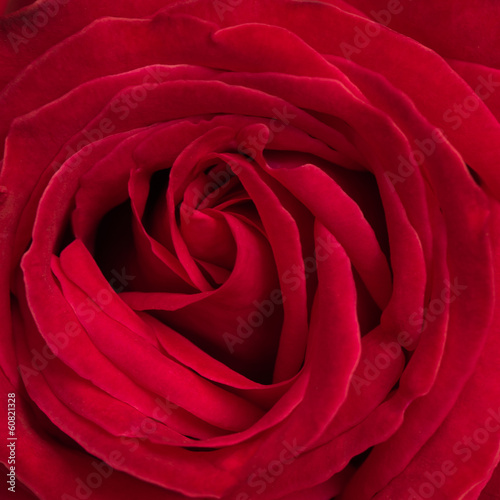 beautiful red rose background using for valentine day