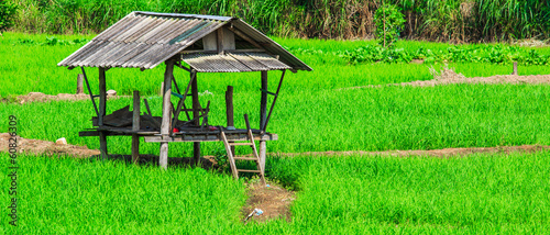 Paddy in Chiang Mai province of Thailand