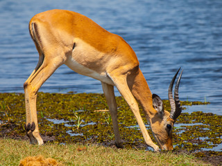 Impala at waterhole