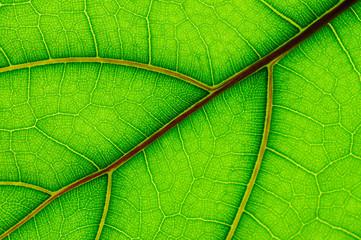 leaf of Ficus Lyrata