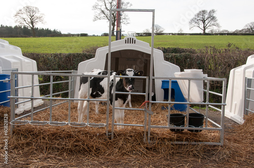 Calf Igloo
